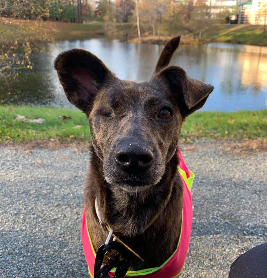 Boston! Help find my friend&#39;s pup! PLEASE SHARE Name: Kimchi Hair: Dark brown brindle Distinctive marks: One eye, last seen wearing a pink reflective vest  Last seen: Whitehall reservoirs / Upton State Forest area Hopkinton Police Department Friends of Upton State <br>http://pic.twitter.com/7dcu9sPy6U
