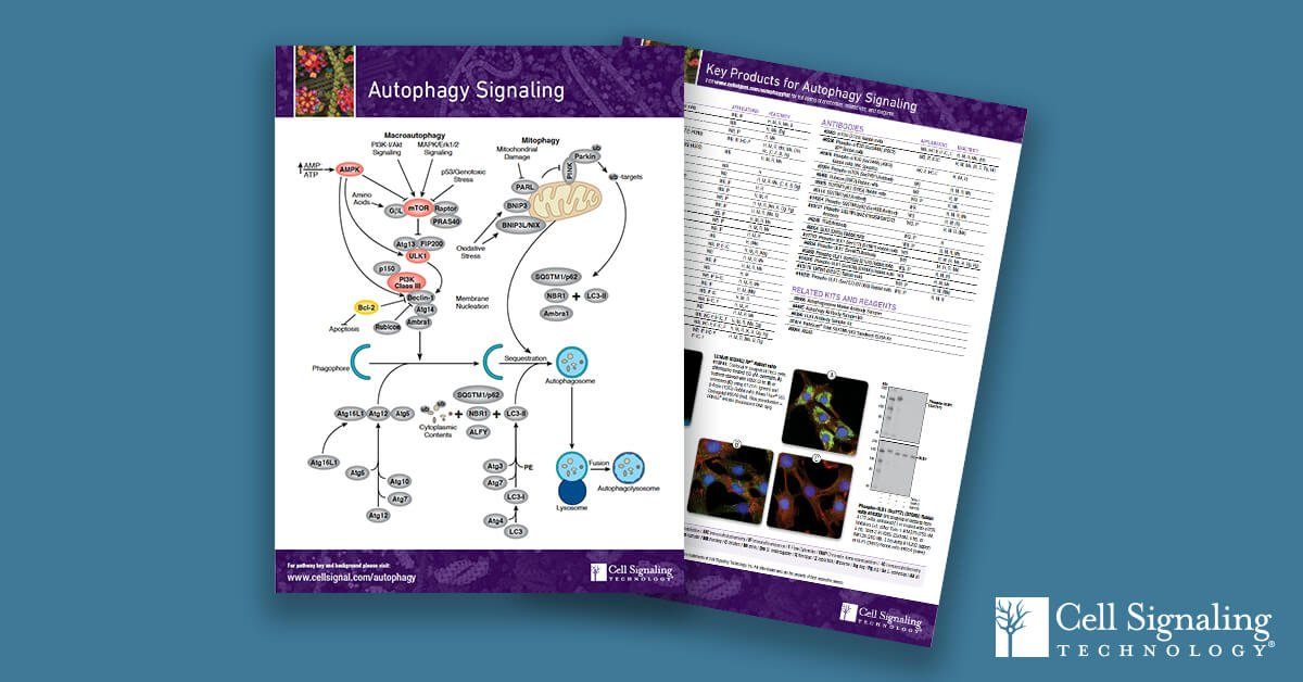 Looking for help understanding the relationship between #autophagy and #celldeath? Download our Autophagy Signaling pathway to advance your research: https://hubs.ly/H0hkn1N0