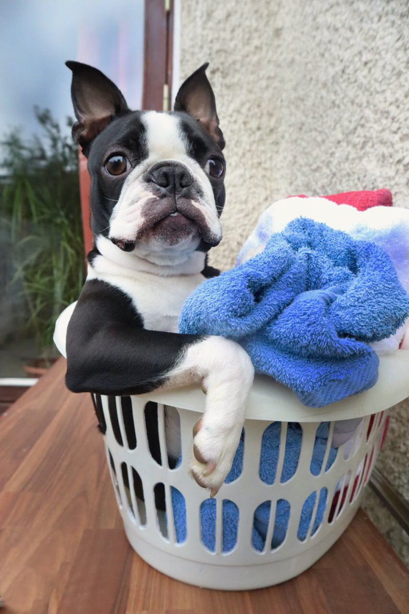 Laundry fairy is here.. #bostonterrier #puppyday #MondayMood #EasterMonday @dog_rates<br>http://pic.twitter.com/NoAR7fcMj2