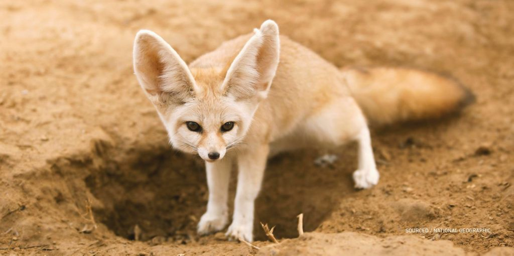 """Saudi Arabia on Twitter: """"The Fennec Fox is known for its small ..."""