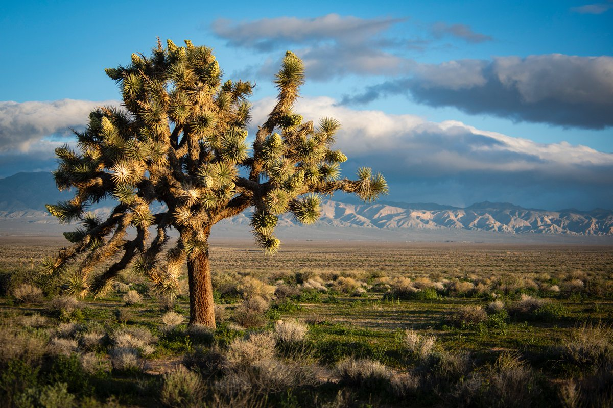 INTO THE DESERT 🌵 Joshua trees are commonly found around the areas surrounding the center which is located in Edwards, California #PictureEarth 📷Credit: NASA/Lauren Hughes