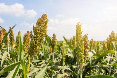 image of sorghum plants