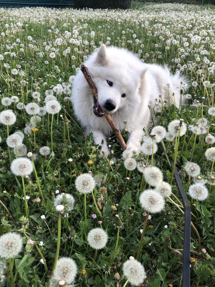 Daily #samoyed <br>http://pic.twitter.com/pPBdGCaM08