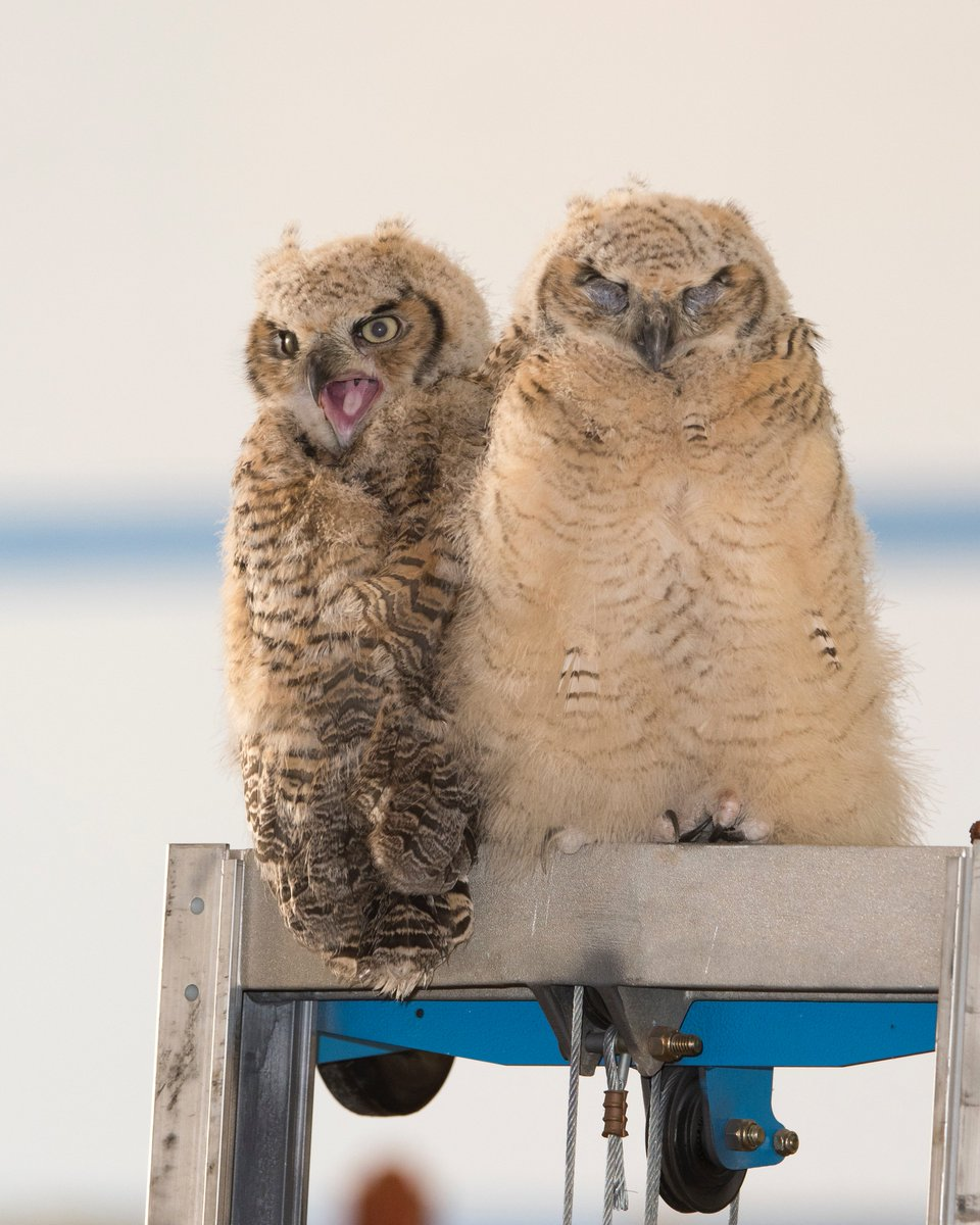 Someone please caption this…. These owlets were born inside of our hangar in Palmdale at Building 703. Wildlife in the Antelope Valley consists of rattlesnakes, rodents, coyotes, owls & many more! #PictureEarth #EarthDay 📷Credit: NASA/Carla Thomas