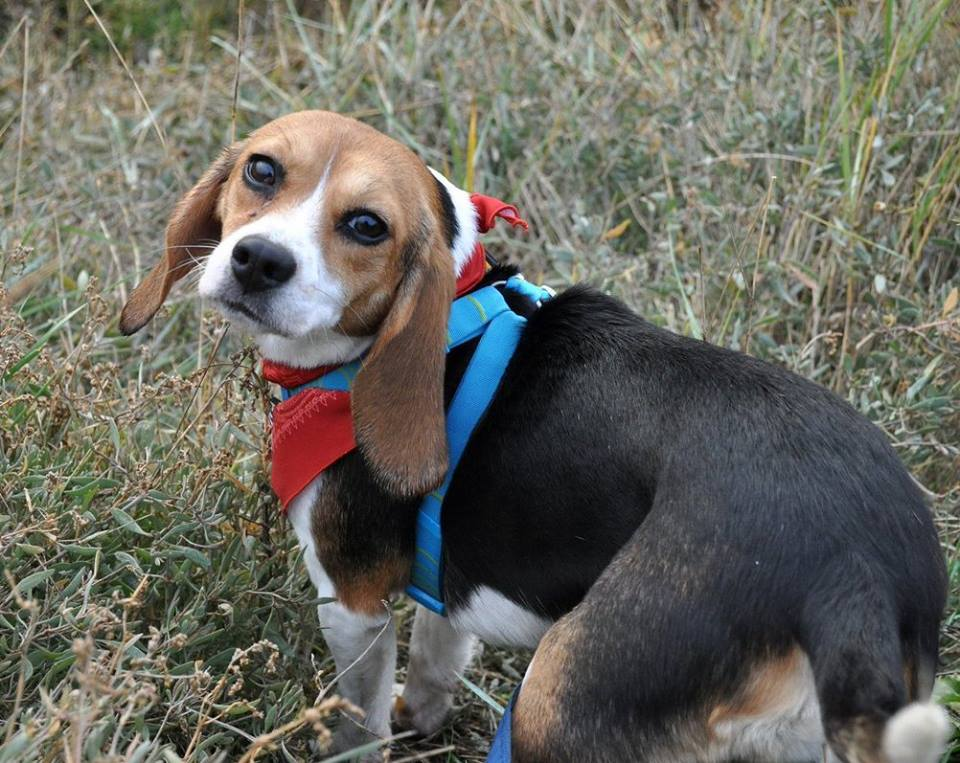 It&#39;s #NationalBeagleDay and Beagle Freedom Project rescue Bea thinks it&#39;s time we stop experimenting on beagles and other animals! RETWEET if you agree!    <br>http://pic.twitter.com/VUdJpjTgQ4