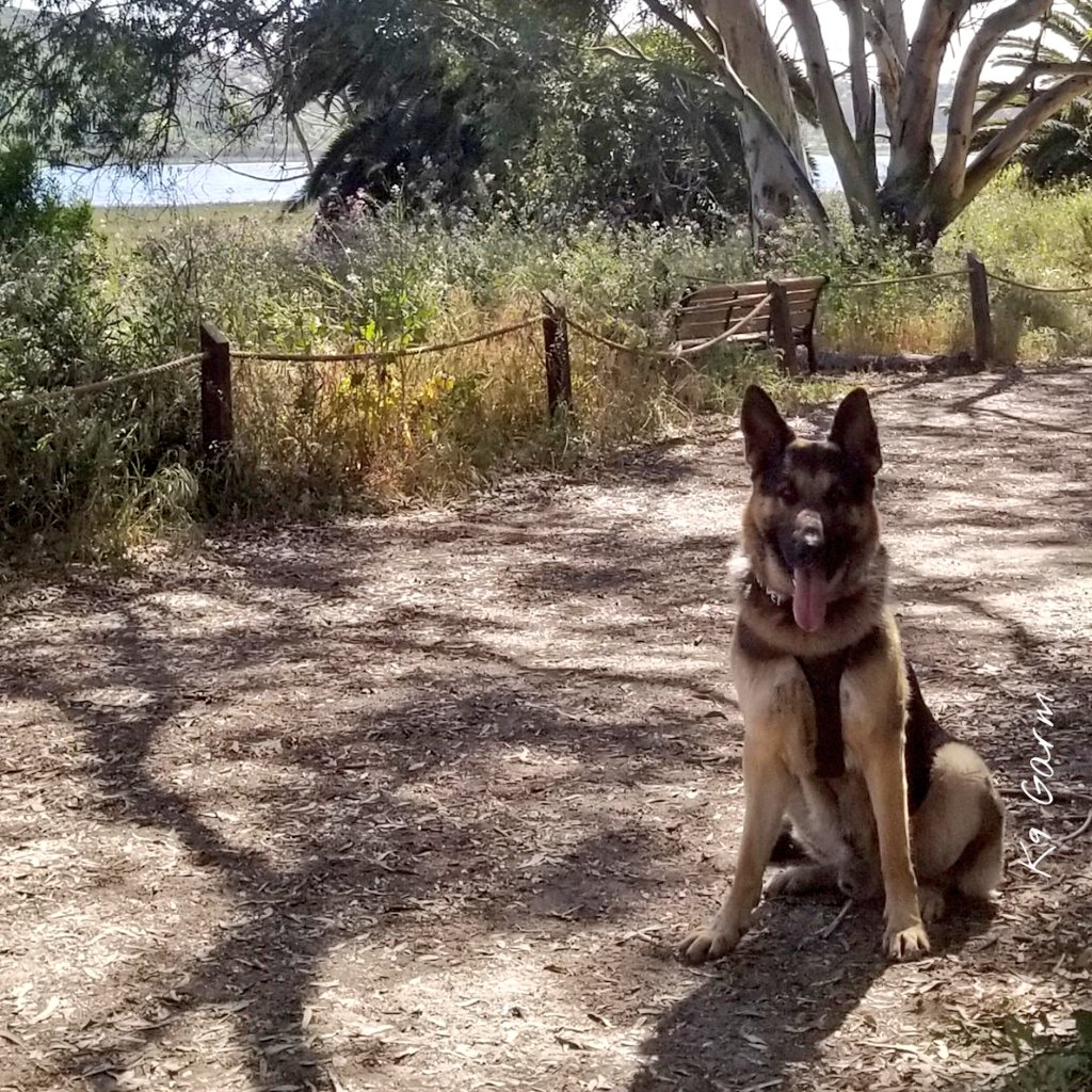 3 mile early evening hike. We are both getting re-acclimated to the hotter weather #K9Garm #dog #dogs #germanshepherd #gsd #moosedog #SARK9 #dogsoftwitter  #dogs<br>http://pic.twitter.com/rl2ppArz2n