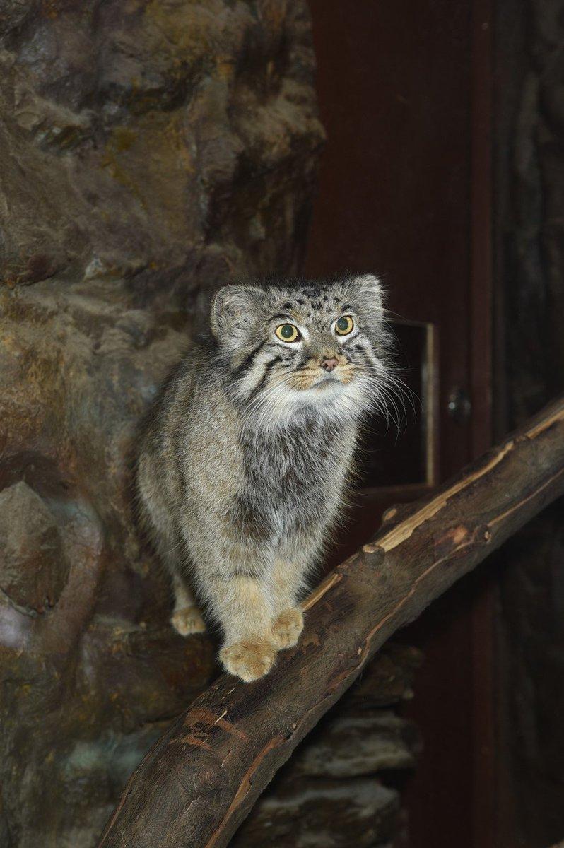 上野動物園[公式]'s photo on #国際マヌルネコの日