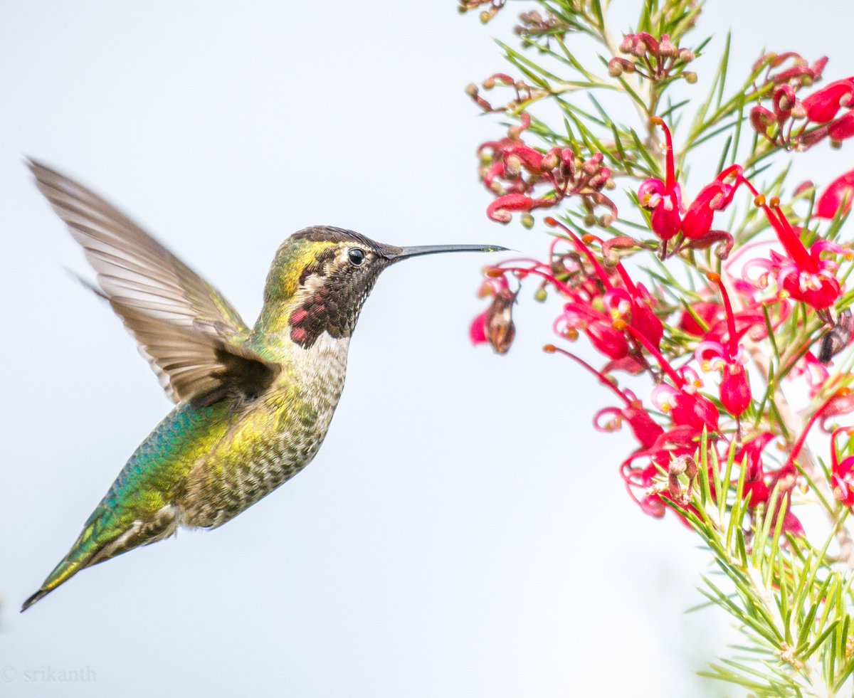"national geographic on twitter: ""the hummingbird lives on"