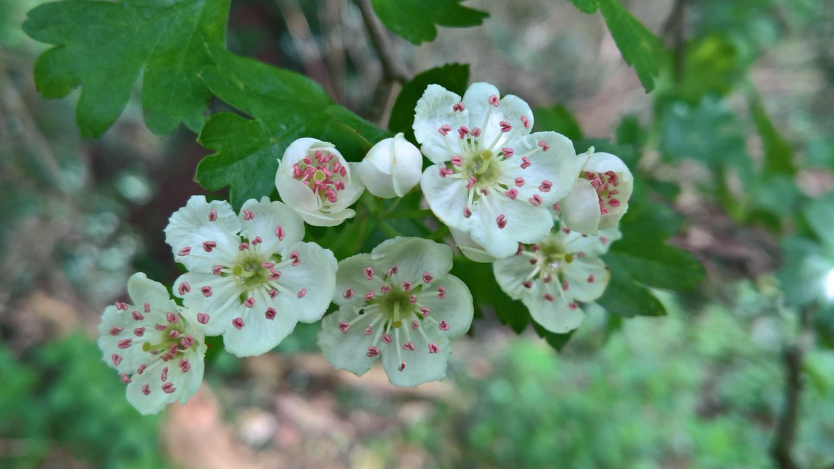 I am curious to see if we have any Midland hawthorn so will wander around  the hedgerows & inspect the blossom, counting stigmas.  pic.twitter.com/N8VmMxnBKs