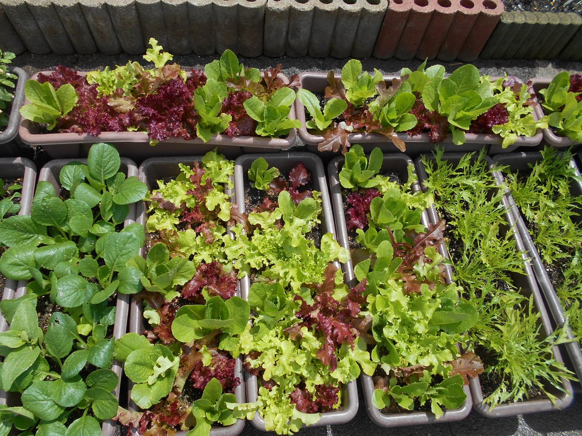 test ツイッターメディア - 5/6、 #ダイソー サラダミックスはプラグトレー蒔きをして、敢えて赤と緑が交互になるようにプランターに植えました。育ってくるとホント楽しいよね~🎶 https://t.co/jhL2kdHqC6