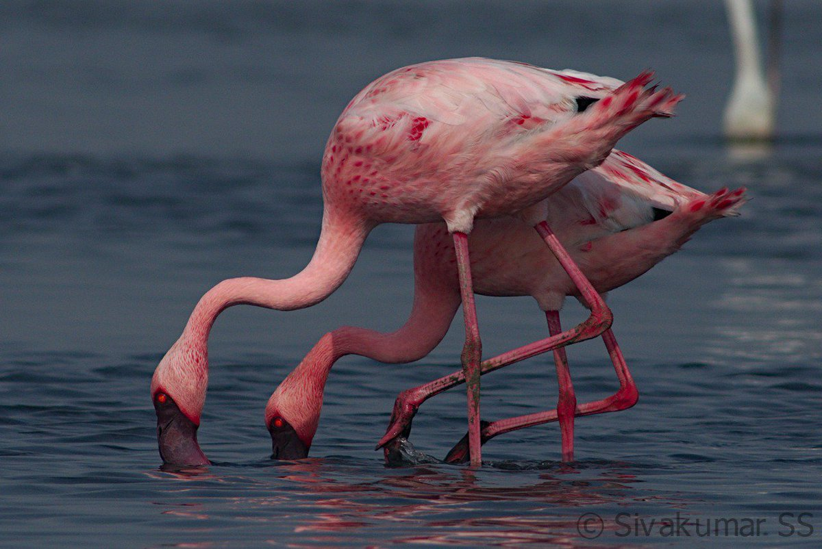 Lesser flamingos. @PENTAXIAN @orientbirdclub @Avibase #birds #birdsoftamilnadu #pentax_da560pic.twitter.com/gSmqnfe3wC