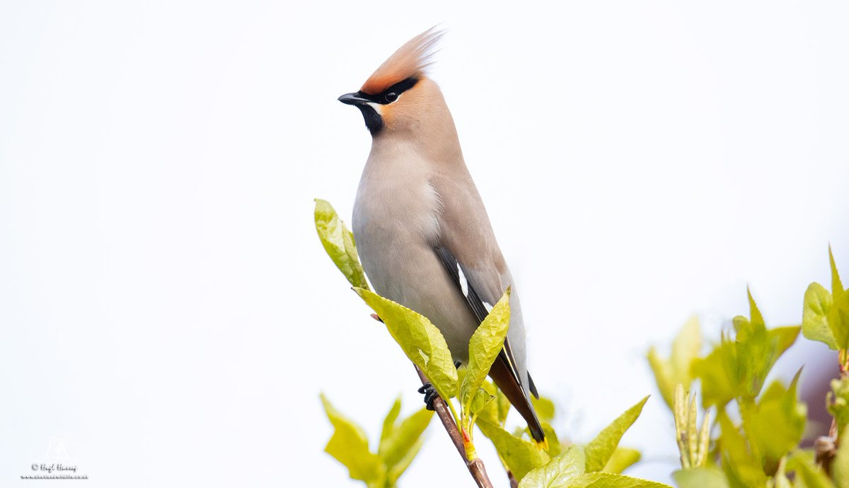 Lovely views of this Waxwing at Sandgarth, #Shetland this morning. Thanks to Tony and Beth for their hospitality.