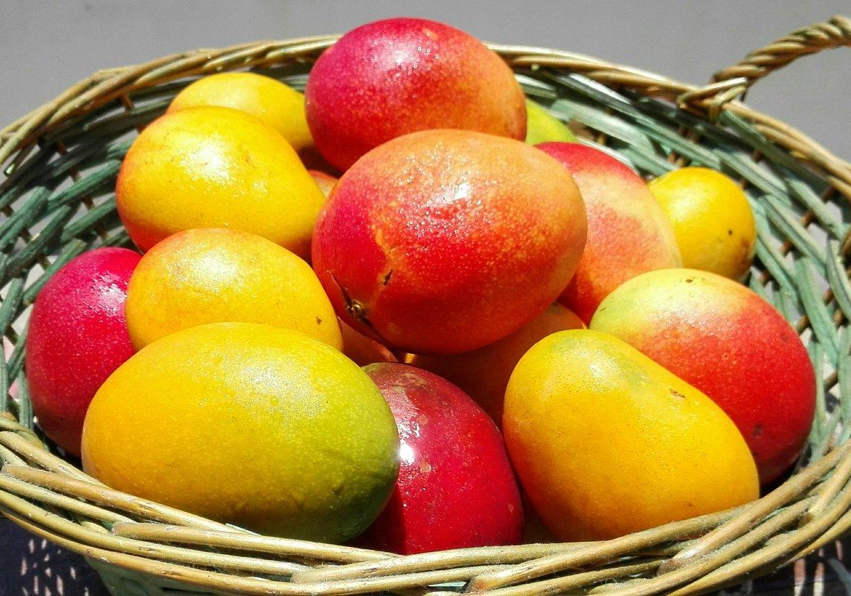 En Araguita, pqa Naricual, Edo. Anzoátegui se produce bastante mango y son frutos de muy buena calidad. Creo que sería interesante que algún especialista se acerque por allá para hacer un levantamiento, porque me atrevo a decir que ahí hay mangos hasta para exportar @luisjmarcano