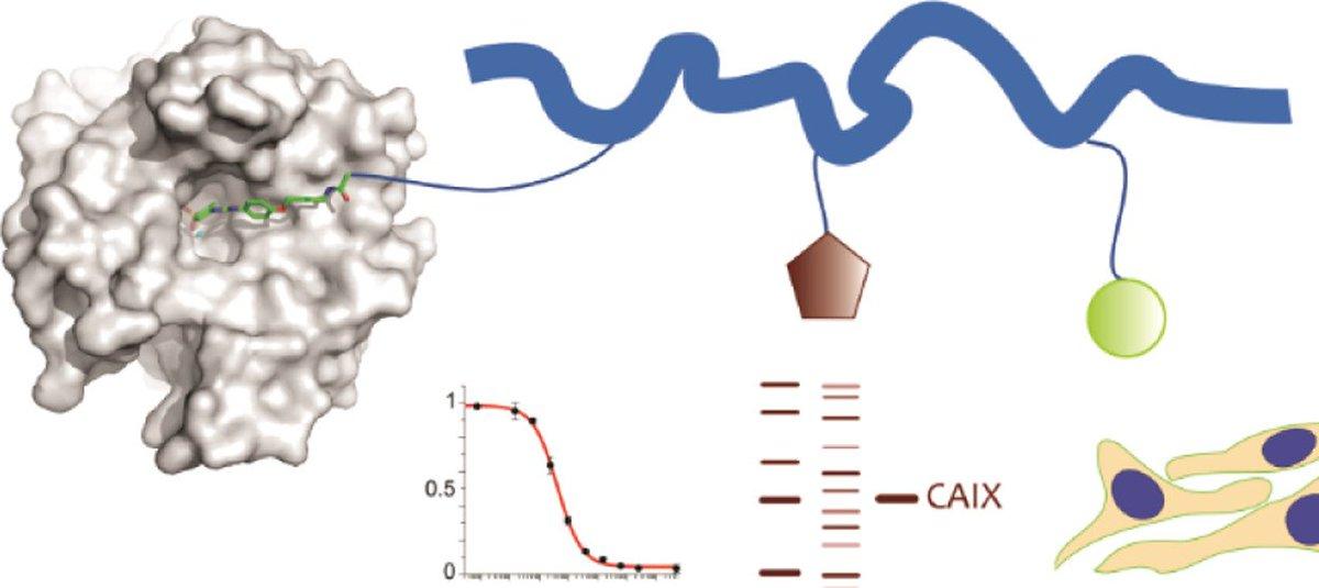 Inhibitor–Polymer Conjugates as a Versatile Tool for Detection and Visualization of Cancer-Associated Carbonic Anhydrase Isoforms (Řezáčová, @konvalinka_jan) - ACS Omega: https://pubs.acs.org/doi/10.1021/acsomega.9b00596… @Konvalinka_Lab @IOCBPrague @IMC_Prague @img_cas @ACS_Omega #avcr