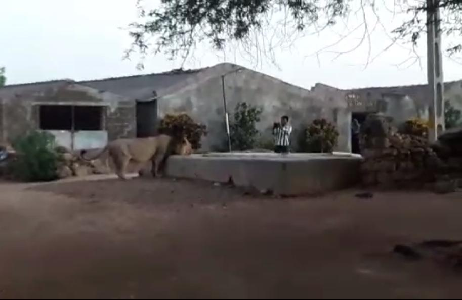 Co-living of humans and lions in Gir: A latest viral clip