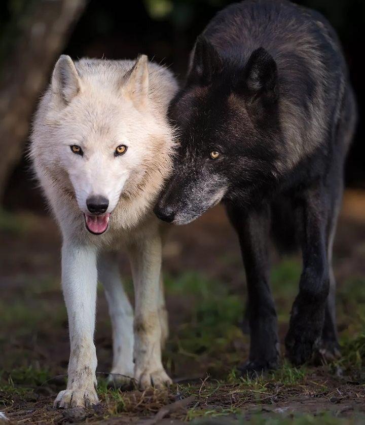 сути, волк черный и белый картинки современной брянской области
