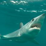 Image for the Tweet beginning: ICYMI: Thru @ASMFC Coastal Sharks