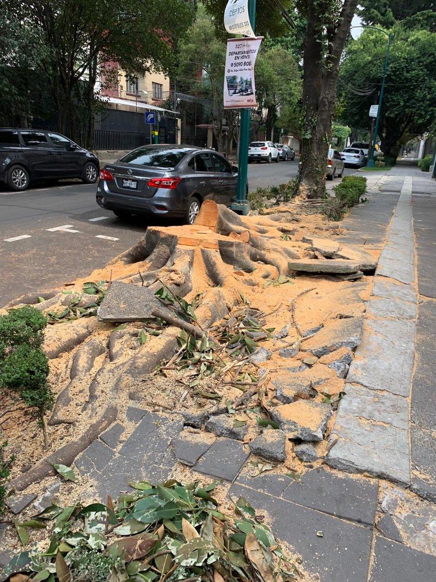 La tala que no acaba... esta vez en la Miguel Hidalgo. A la derecha, un hule de la calle Calderón de la Barca. A la izquierda lo que quedó de ese árbol. Qué impotencia. ¿Y las autoridades?