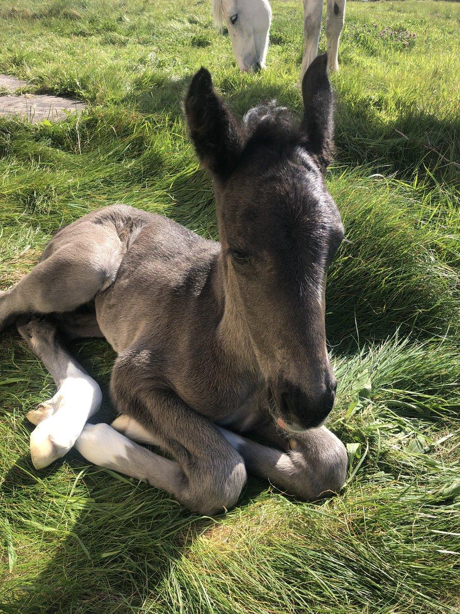 Newest arrival! Irish draught filly foal #irishdraught #irishdraughthorse #foal