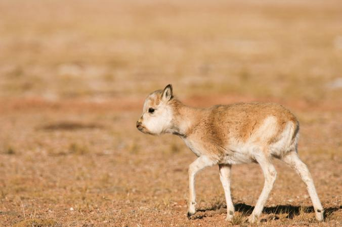 Image result for A Rare Tibetan Antelope Is Being Killed To Make $20,000 Scarves