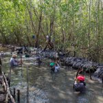 Image for the Tweet beginning: Learn about the Mangrove Restoration