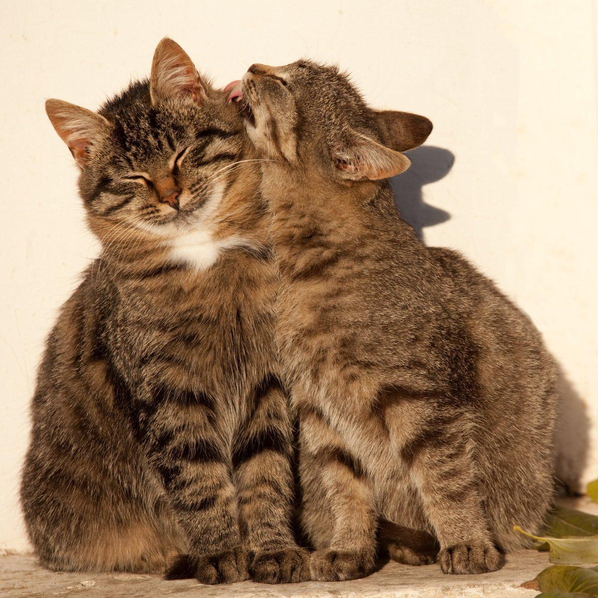 картинки кошки пары