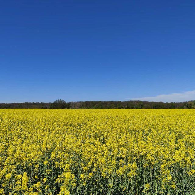 #blau und #gelb . #raps #rapsblüte #landschaft #pflanzen #himmel https://t.co/krlHGCveWe https://t.co/iS5MCuKMaE
