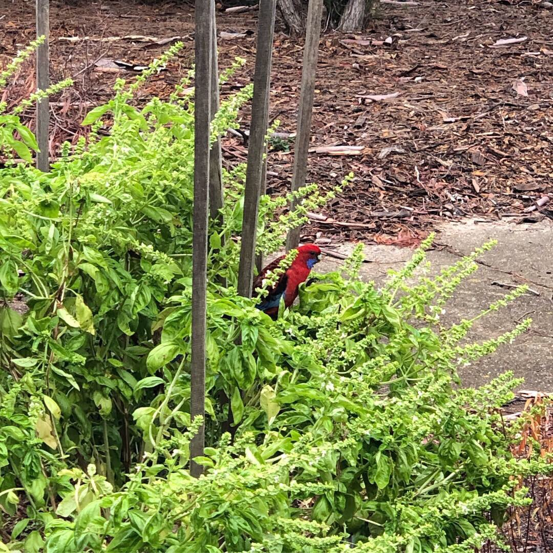 An interloper in the basil :) #canberra #crimsonrosella #autumn https://t.co/e4CGICvE7C