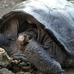 """Image for the Tweet beginning: This """"extinct"""" giant tortoise was"""