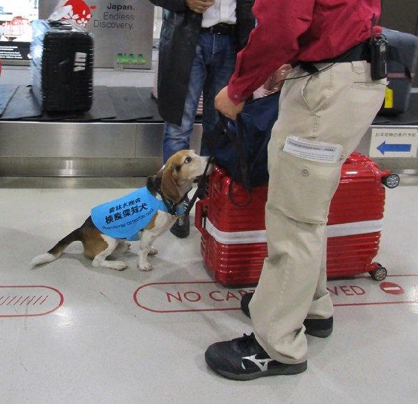 「アフリカ豚インフルエンザ 検疫探知犬 成田空港」の画像検索結果