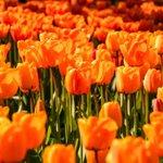 Image for the Tweet beginning: De beste Android-apps om Koningsdag