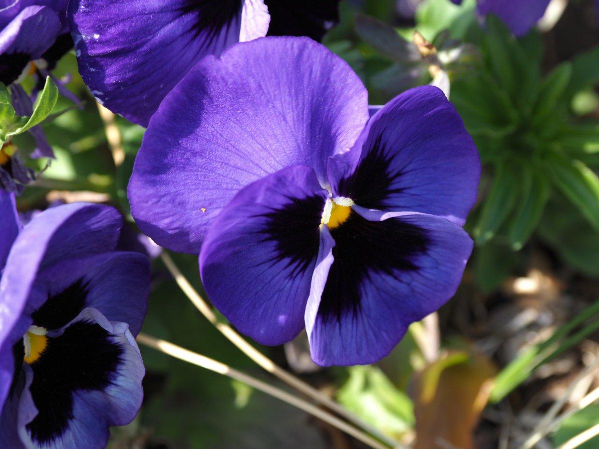 の 紫 パンジー 森 あつ