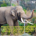 Image for the Tweet beginning: Happy #EleFunFactFriday!Musth serves as a