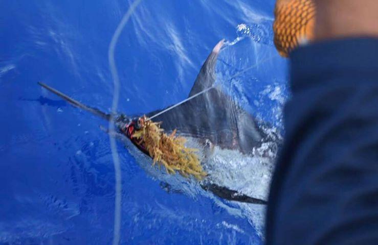 San Juan, PR - Kamila released a Blue Marlin.