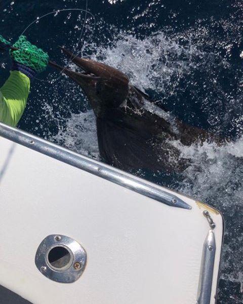Quepos, CR - Caribsea released 9 Sailfish.