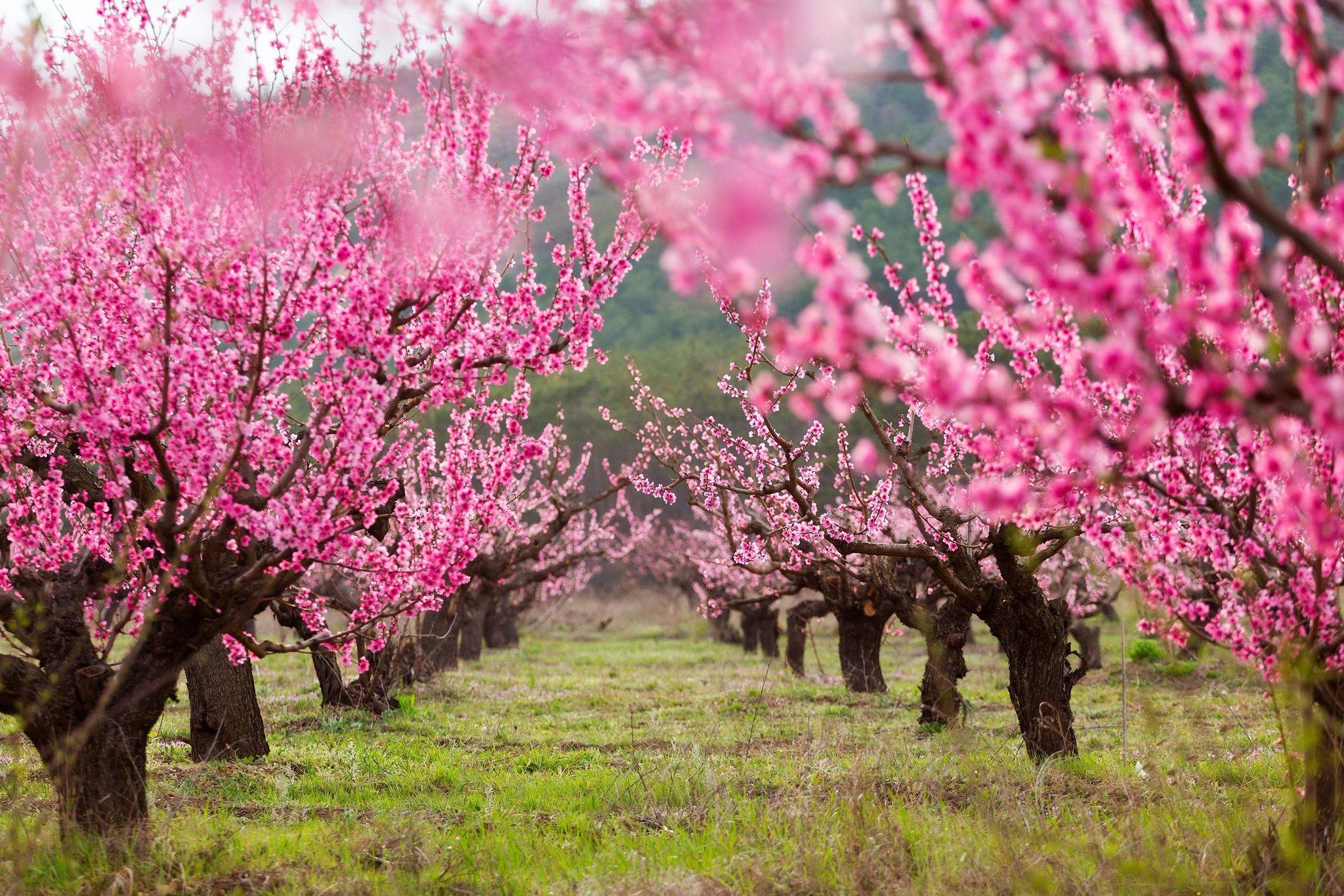 картинка цветущего персиками это был тепло