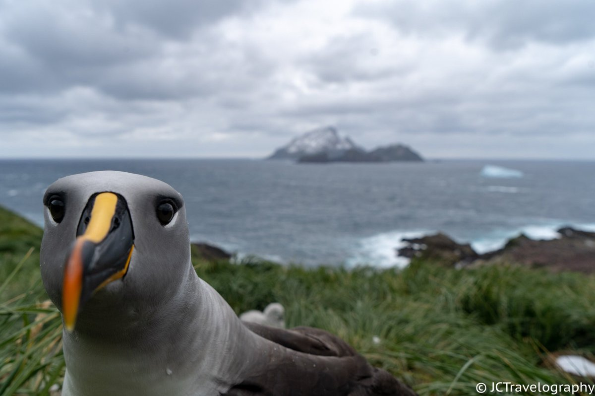 Grey headed albatross checking out its reflection in the camera