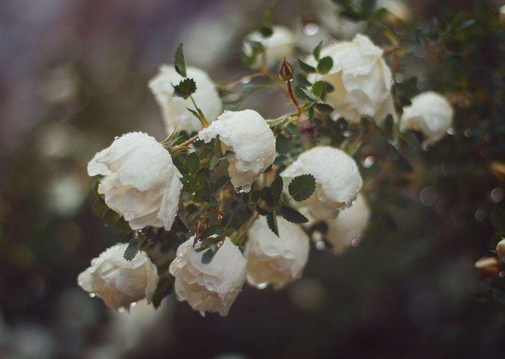 зугдиди картинки дождь и белая роза здесь сибирские