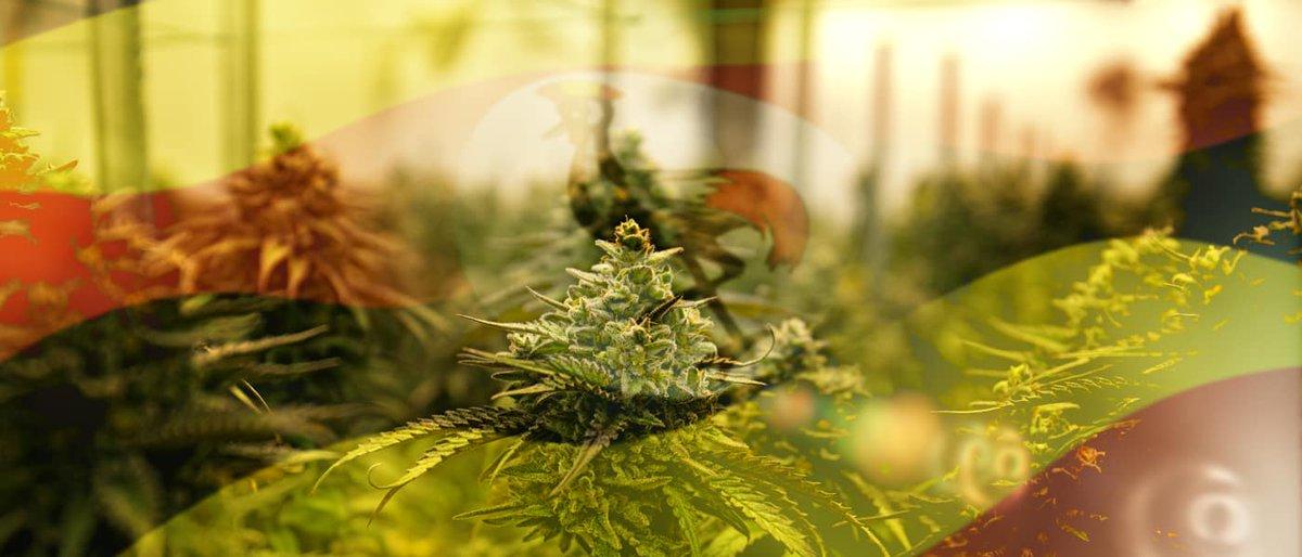 乌干达将为德国和加拿大提供医用大麻