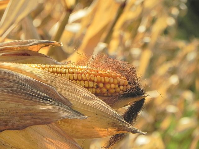 #FoodInflation likely to go up due to expected lower #Maize output | https://bizcom.to/1/42rf by Gilberto Biacuana & Tebogo Mashabela via @Biz_Agriculture #MaizeProduction pic.twitter.com/nq9Oo5xMaI