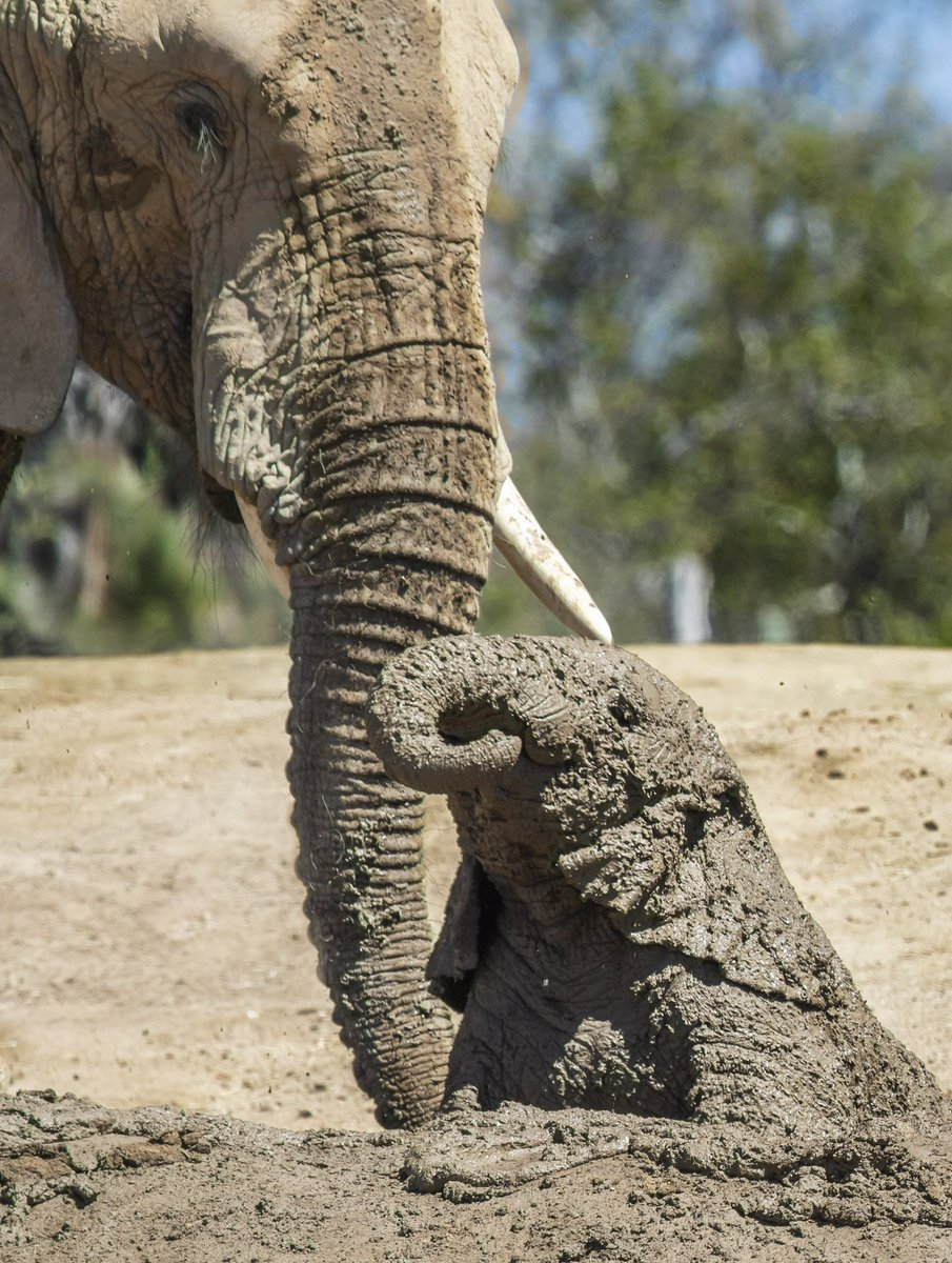 Kaia camouflage level: Expert  Elephants use mud as a natural sunscreen to protect their skin.   #MuddyMkhayaMonday #PachydermPair  Cindy Croissant <br>http://pic.twitter.com/BIMS51tCOr