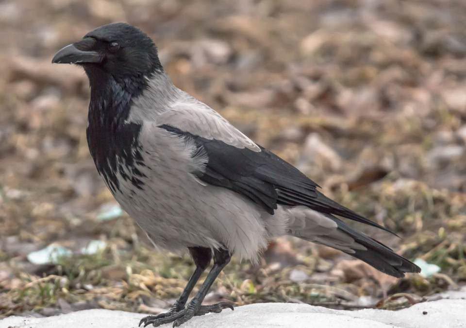 Ворона птица картинка