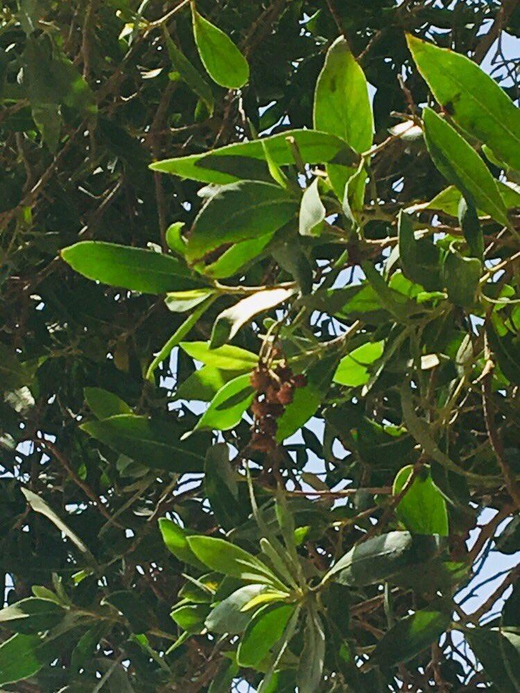conocarpus hashtag on Twitter