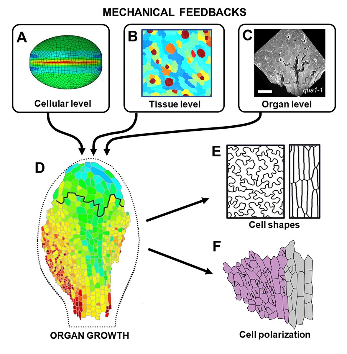 Our review about the #biomechanic of #plant #organogenesis is now online @JXBot: https://academic.oup.com/jxb/advance-article-abstract/doi/10.1093/jxb/erz205/5481774 … @EEchevin @CLeGloanec @RoutierAL