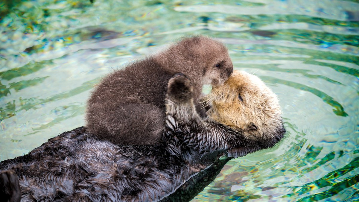 while historical threats to #seaotters have largely been solved, complex and increasingly significant factors threaten their population (and larger ecosystem) recovery https://onlinelibrary.wiley.com/doi/full/10.1002/ece3.5209… @jhmoxley @MontereyAq @Ecol_Evol @TheCACoast #otters #whitesharks #sharks #kelp #oceanpic.twitter.com/RqXwLVVIrH