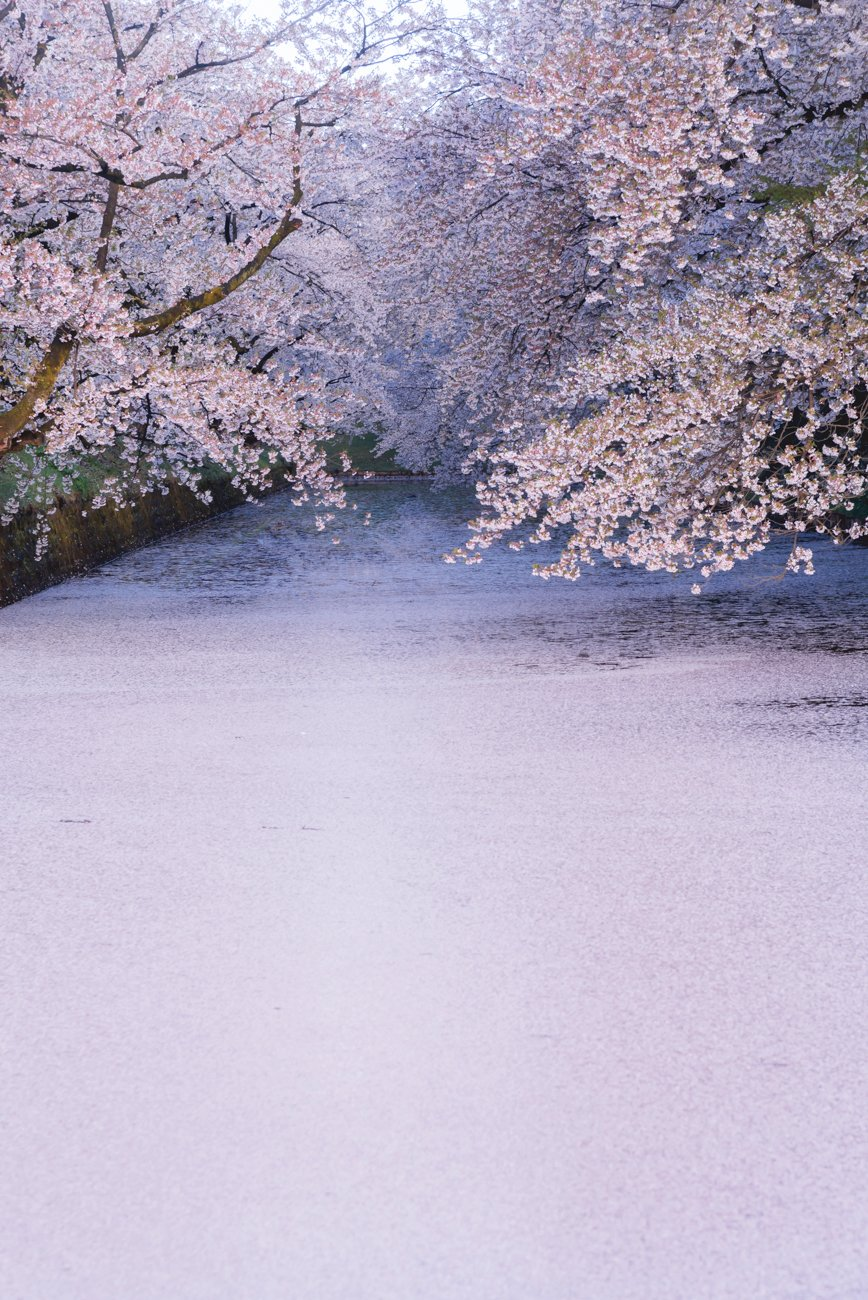弘前の遅い春は待ち侘びていたかのような狂い咲きでした