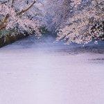 弘前の桜は今が見頃!満開の桜をご覧ください!