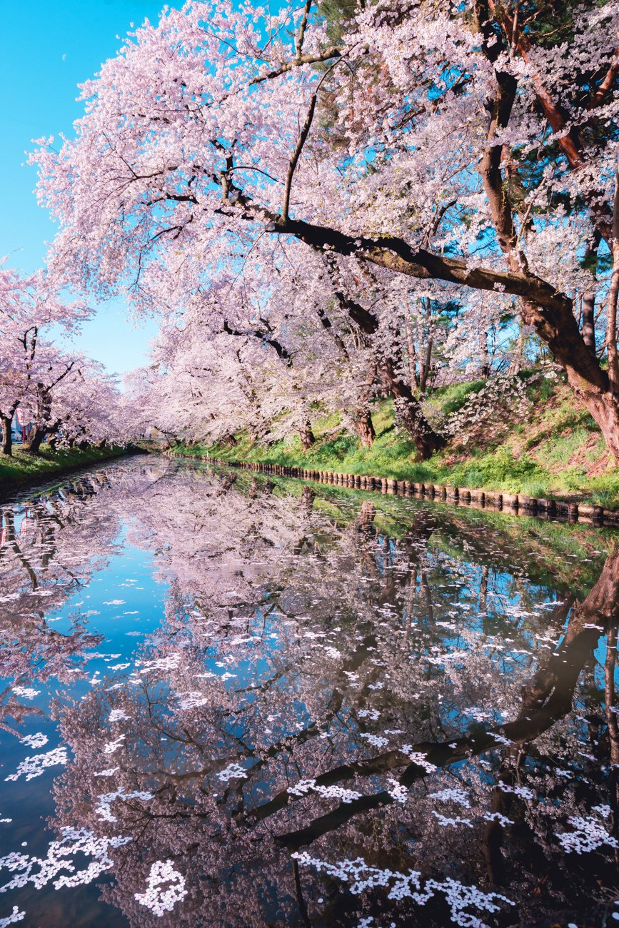 弘前の桜は今が見頃!!満開の桜をご覧ください!