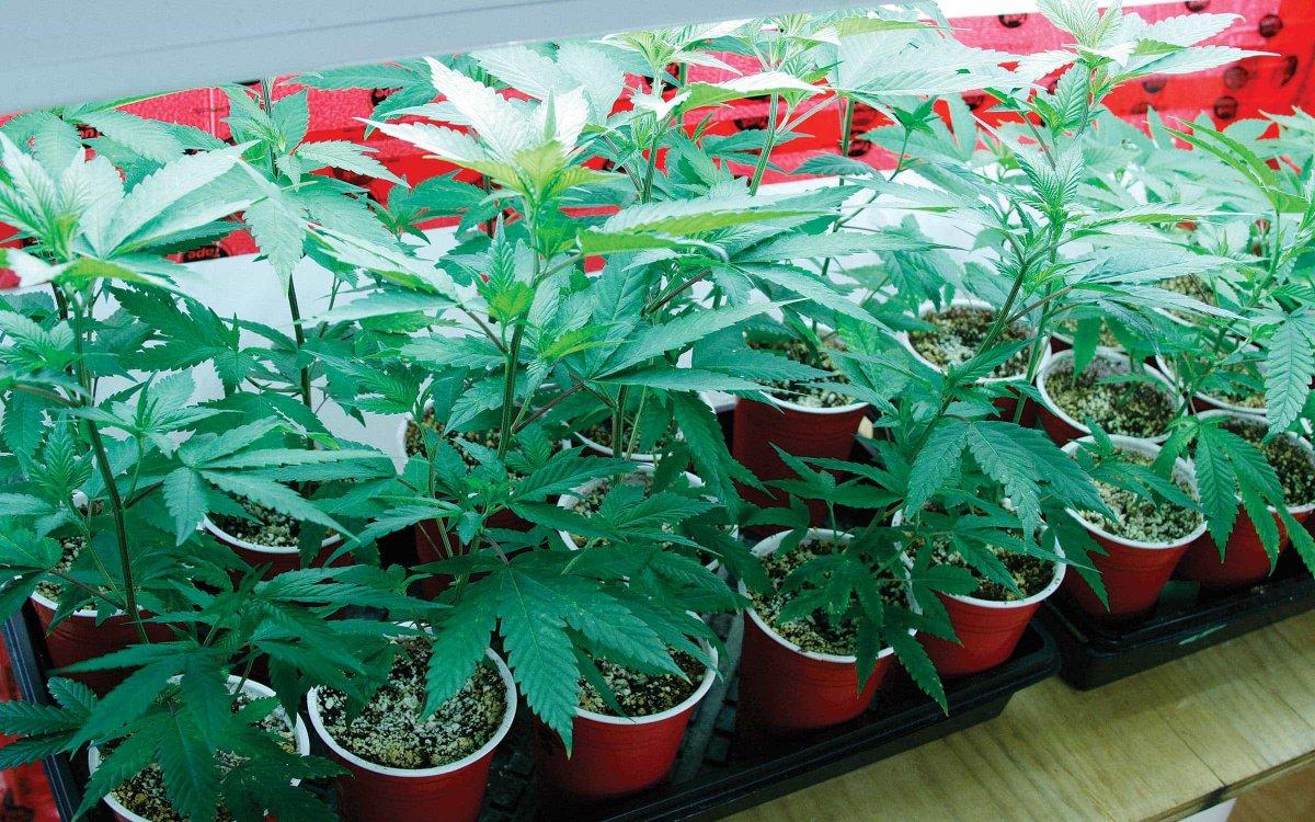 加拿大温尼伯议员希望限制住宅内种植大麻数量