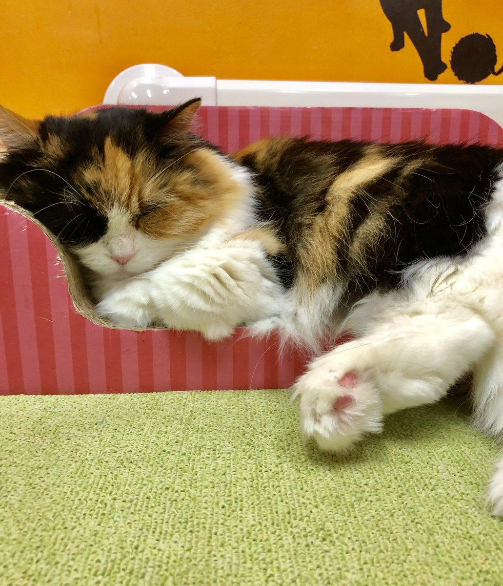 本日も朝からたくさんご来店ありがとうございます😊たくさん遊んでいただき猫スタッフも満足ですっかりおやすみモードです💤 勝手ながらネコ体調管理の為本日20時閉店とさせていただきます。ご了承くださいませ🙇♂️  #美観neko #猫カフェ #美観地区猫カフェ #catcafe  #みかんねこ